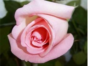 ,a,rose,500X600a, 2009
