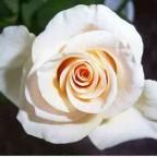 helle Rose aus unserem Garten