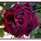 Rose mit Blüte wie Samt