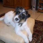 Lilli ist eine Parsson-Russel-Terrier-Hündin und jetzt 4 Jahre alt