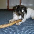 Lilli liebt Stock-Knabbern.Je größer umso besser!