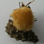 weisser Polsterpilz  Oligoporus ptychogaster