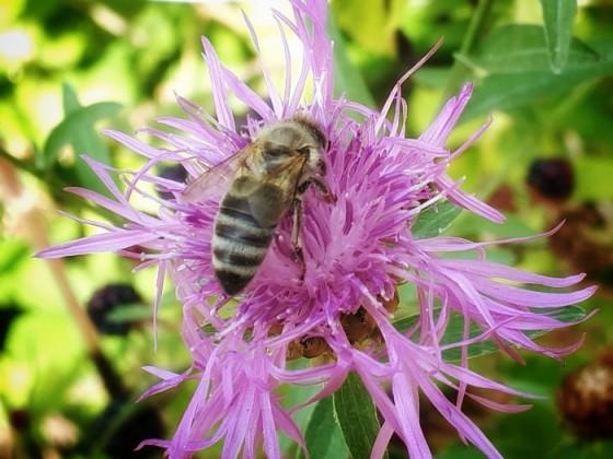 Biene auf Flockenblume